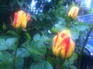 blurryrosebuds